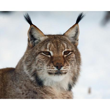 Sur les Traces du Lynx des Balkans INT