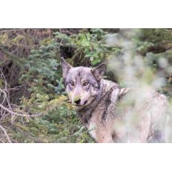 Sur les Traces du Loup FR Canada