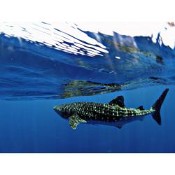 Marokintana, le Requin Baleine INT