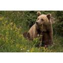En Quête de Biodiversité au Pays de l'Ours
