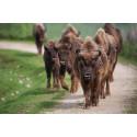 Bison'Action